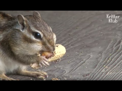 Cute Chipmunk Demands Nuts To Patients In Return For His Healing Service | Kritter Klub