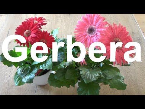Gerbera pflege Gießen Düngen Blüte vermehren Standort