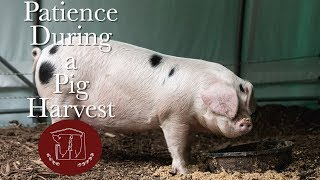 Patience During A Pig Harvest