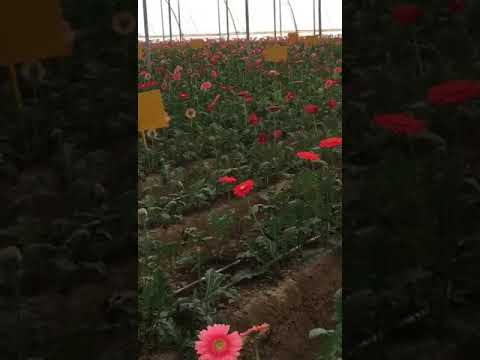 Nanil Chaudhary| Floriculture| Krishna Biotech