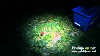 Pomoč žabicam čez cesto v Borecih