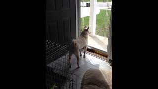 Shiba VS the tornado siren