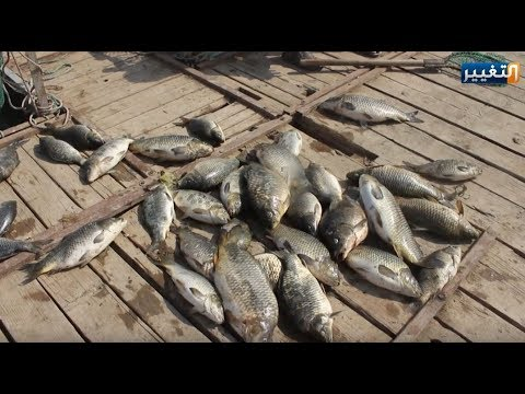 العرب اليوم - شاهد: كارثة نفوق الأسماك في العراق تظهر من جديد والجاني مجهول