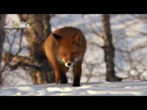 POSTER A4 PLASTIFIE-LAMINATED(1 FREE/1 GRATUIT)* ANIMALS SAUVAGE RENARD FOX.