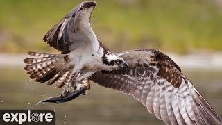 Audubon Boat House Osprey Nest powered by EXPLORE.org
