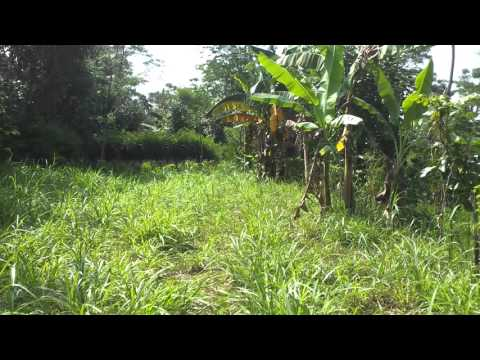 Video Kaliandra,kolonjono,odot dan indigofera