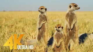 4K African Wildlife & Cute Meerkats and Squirrels - Wild Animals Video, Africa