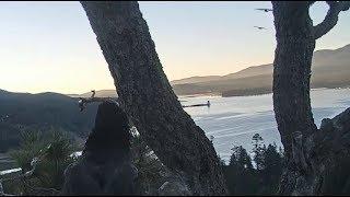 Big Bear Eagles ~ JACKIE CHASES OFF HAWKS/RAVENS! Simba's Mishap Almost Falls w/ SLO MO 7.16.19