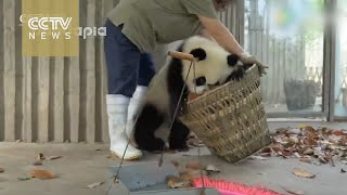 Watch Giant Pandas Create Trouble As Staff Cleans Their House
