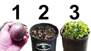 How to Grow Passion Fruit from SEED
