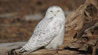 Snowy Owl just sitting: zoom out