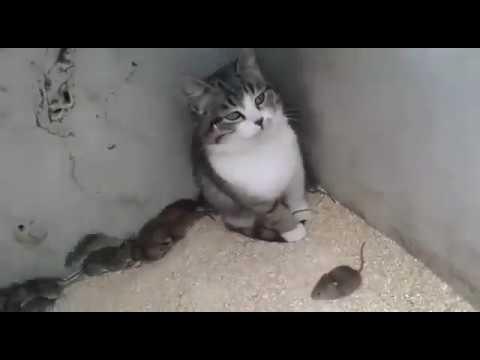 КОТ- ФЛЕГМА