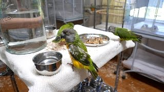 Ginger's Parrot Rescue - Taking Care of Senegal Parrots