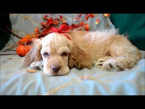 Wyatt AKC Buff Male Cocker Spaniel Puppy for sale