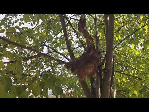 Видеофакт: в одном из дворов Великого Новгорода дерево украсили жутким чучелом птицы