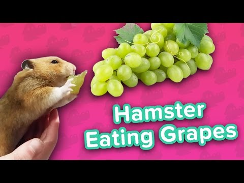 Hamster Loves Grapes & Cardio Dachsunds! // Funny Animal Compilation