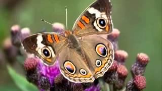 Жълта пеперуда