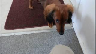 Long Haired Mini Dachshund (Teckel à Poil Long)