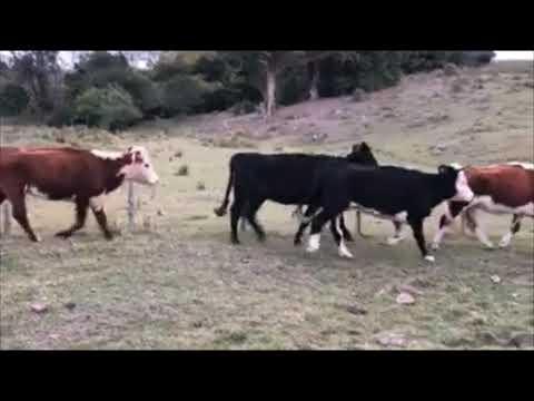 Imagen 28 Vacas de Invernada en Lavalleja