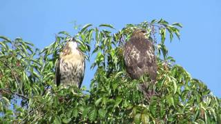Juvenile Red-tailed Hawks calling for Mom at Stony Creek Metropark