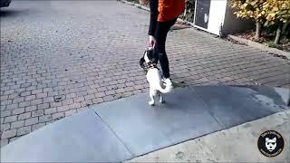 Marche en laisse : Kira en action