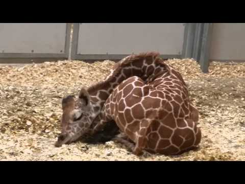 Sleeping adult giraffes