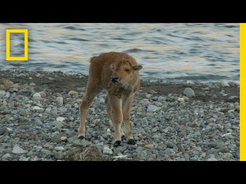 Baby Bison Takes on Wolf and Wins | America's National Parks