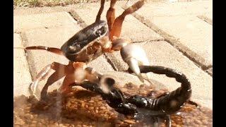 Black Scorpion vs Halloween Crab