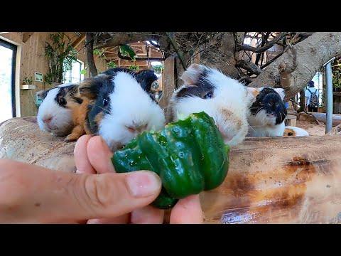 「食いしん坊モルモットに、ピーマンあげたら・・・」Animals eat green pepper?