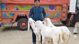 rajanpuri bakra farm - मुफ्त ऑनलाइन वीडियो