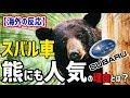 【海外の反応】衝撃!「なぜ熊もスバル車が好きなのか?」スバル アメリカで野生の熊が『スバル』の車に乗る事件が頻発している理由とは!?