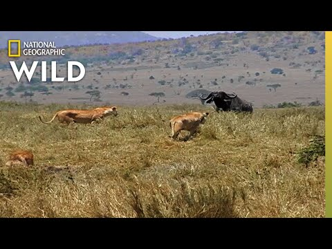 How a Lion Pride Hunts Prey | Cat Attack-tics