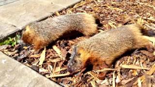 How to Get Rid of Rockchucks (Yellow-Bellied Marmots) # 2