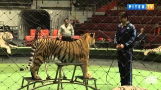 Питер TV- Запашный про тигриц: Жанна неуравновешенная,Анита- красивая девка..