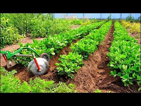 Арахис вместо картофеля. Секреты выращивания, кто знает?
