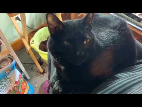 Rogue, an adoptable Domestic Short Hair in Chicago, IL_image-1