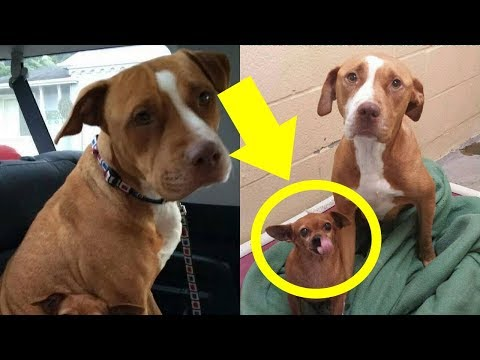 This Pit Bul Wouldn't Leave The Shelter Without The Chihuahua He Was Protecting So The Owner …
