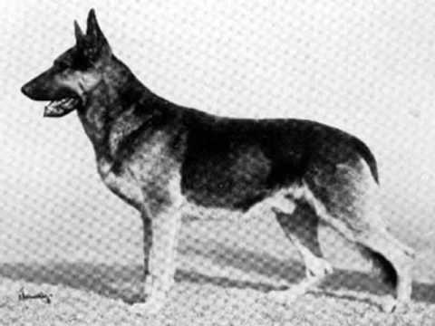 Preview video GERMAN SHEPHERDS HISTORY by Eduardo Durán Haedo
