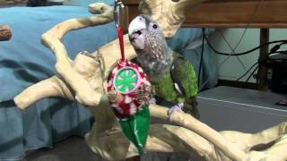 Christmas Morning Parrots - Kili & Truman