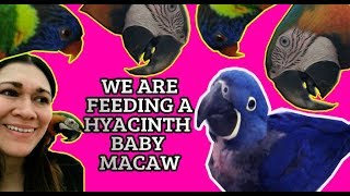 THE MOST EXPENSIVE PET BIRD! **EXOTIC PET** HYACINTH BABY MACAW**