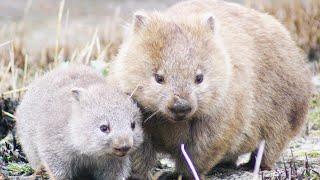 Wombats Poo Cubes! | Chris & Megs: Amaze Me | BBC Earth