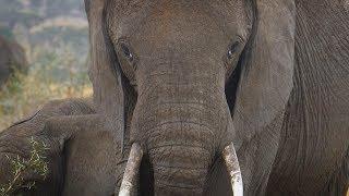 Faces of Africa - Saving The Savannah