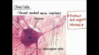 Brain - Nervous Tissue