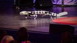 A robot that runs and swims like a salamander   Auke Ijspeert
