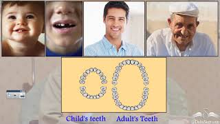 Number of teeth in different age groups