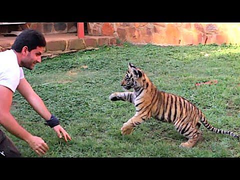Cutest Tiger Attack Ever