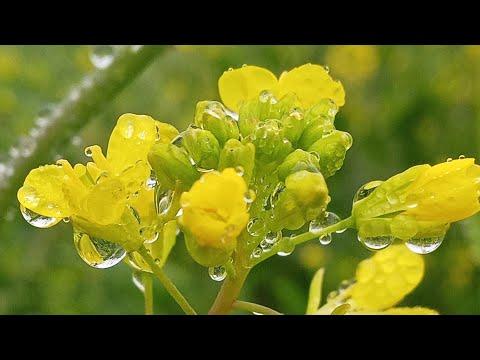 , title : 'Sarson k Phool Sweet  Yellow Mustard flowers 🌅