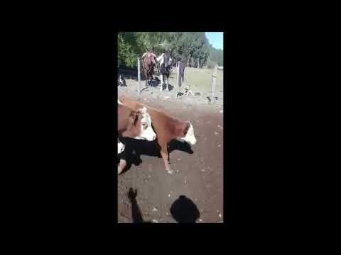 Imagen 85 Vaquillonas preñadas en Maldonado