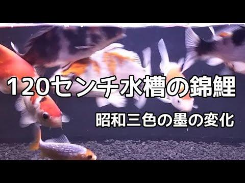 錦鯉水槽  2019.3.22  昭和三色の成長