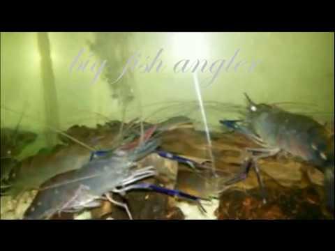 Video Memelihara Udang Galah Dalam Aquarium